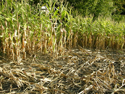 Typischer Wildschaden durch Schwarzwild im Mais
